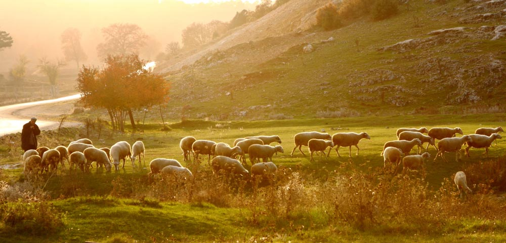 Time and attendance: photo of shepherd and flock